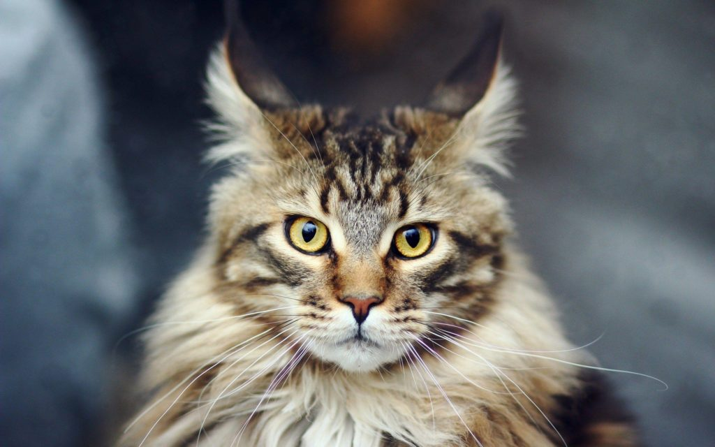 +40 iPhone Maine Coon Wallpapers 44