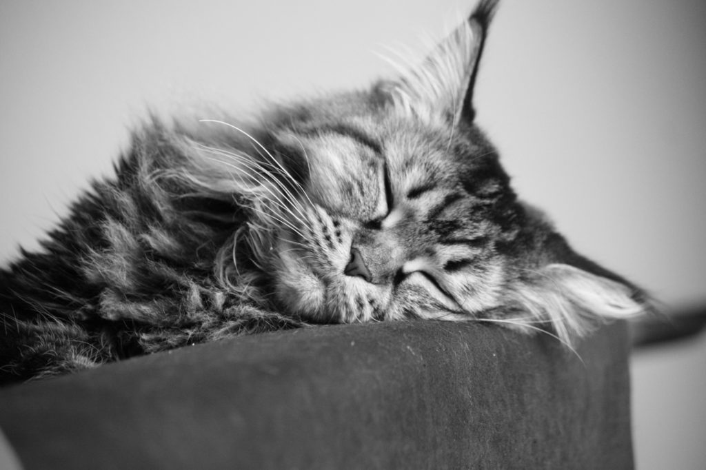+40 iPhone Maine Coon Wallpapers 8
