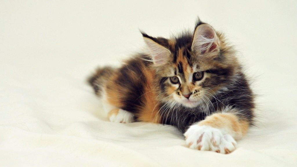 +40 iPhone Maine Coon Wallpapers 9