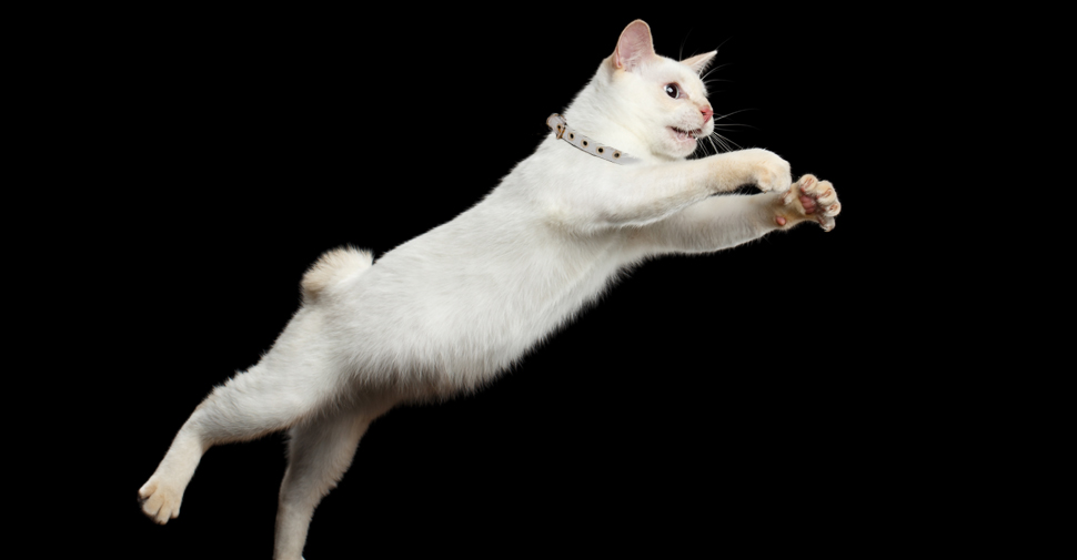how hight can cats jump