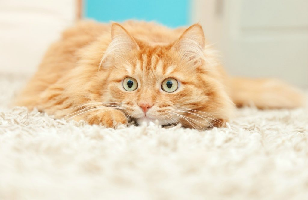 Anxiety in Cats Remedies