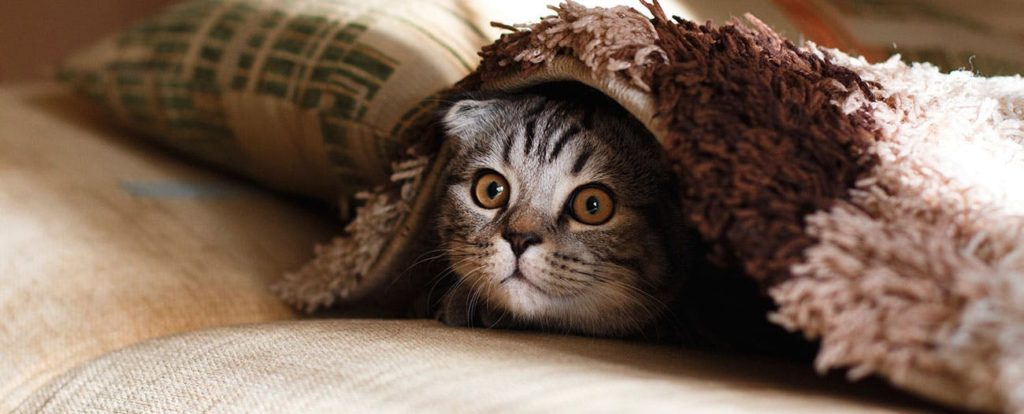 Anxiety in Cats Remedies - Calm Them Naturally 1