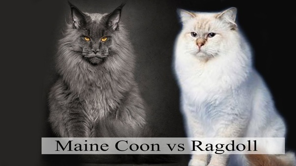 Maine Coon vs Ragdoll Cat - Which Breed Suits You? 1