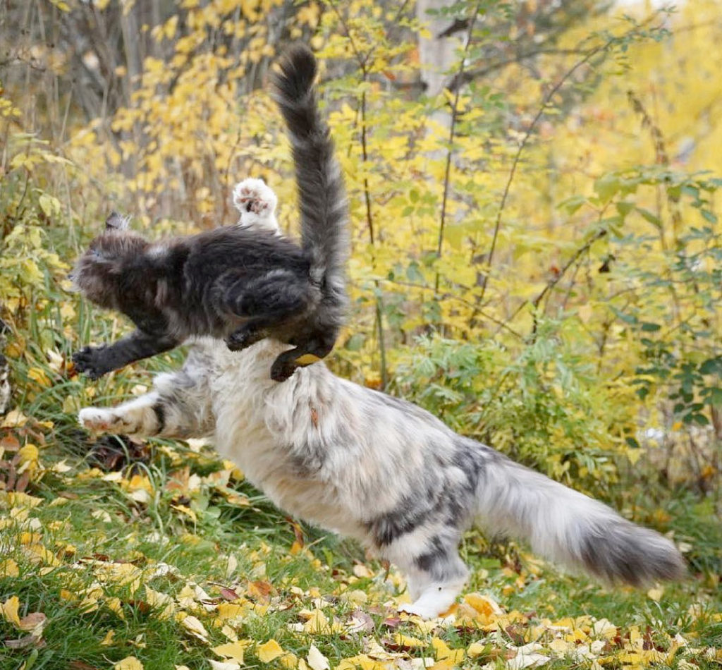 Maine Coon vs Ragdoll Cat - Which Breed Suits You? 4
