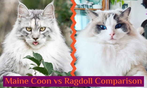 Maine Coon vs Ragdoll Cat – Which Breed Suits You?