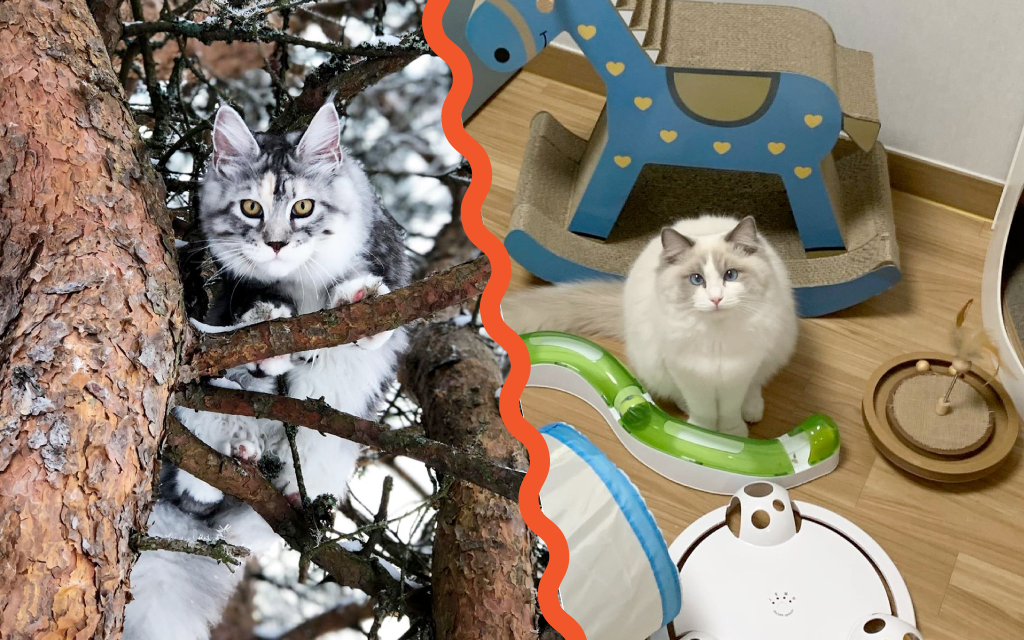 Maine Coon vs Ragdoll Cat - Which Breed Suits You? 7