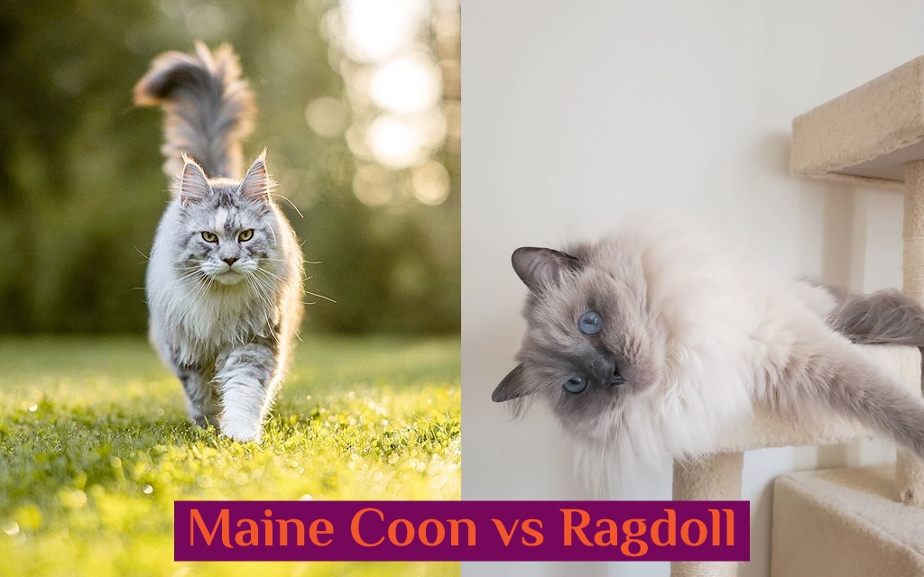 Maine Coon vs Ragdoll Cat - Which Breed Suits You? 3