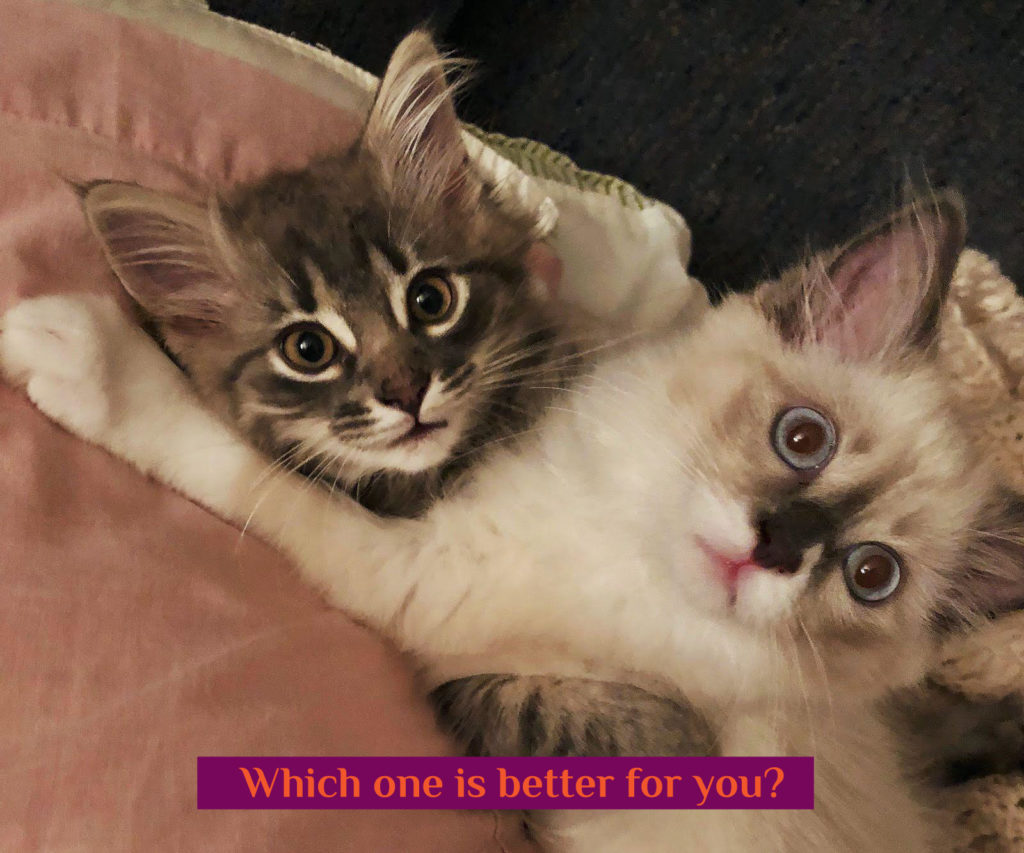 Maine Coon vs Ragdoll Cat - Which Breed Suits You? 8