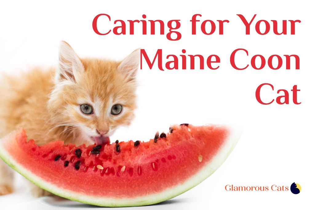 Caring for Your Maine Coon Cat