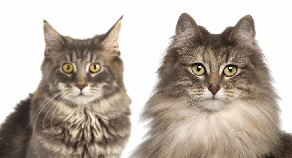 Maine Coon vs Norwegian Forest Cat 101 - Are They Twins? 5