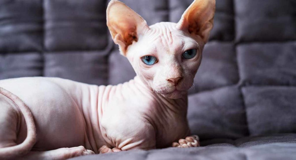The Ultimate Guide on Sphynx Cat Facts and Origin 101 2