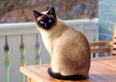 Apple Point Siamese Cat 101 3