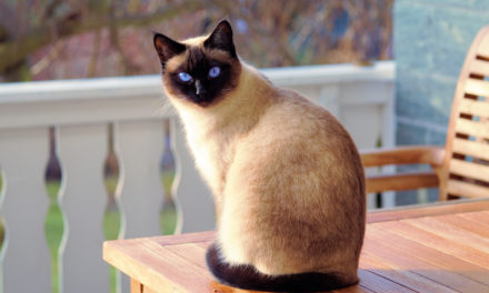 10 Personality Traits of Siamese Cats