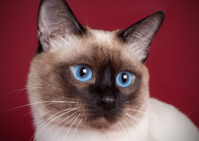 Apple Point Siamese Cat 101 4
