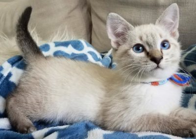 Apple Point Siamese Cat 101 14