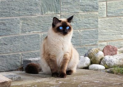 Apple Point Siamese Cat 101 5