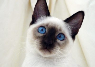 Apple Point Siamese Cat 101 6