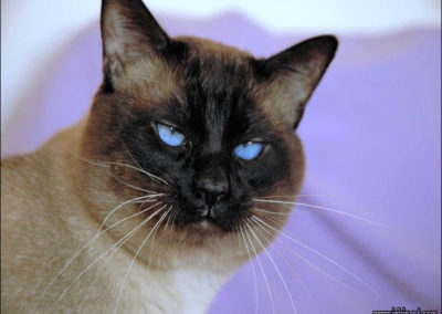 Apple Point Siamese Cat 101 7