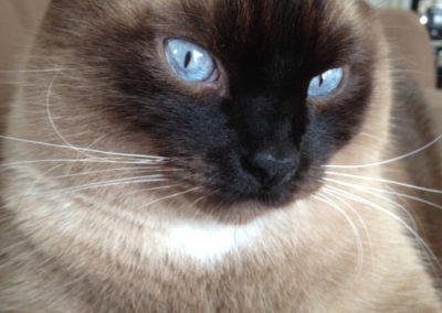 Apple Point Siamese Cat 101 8