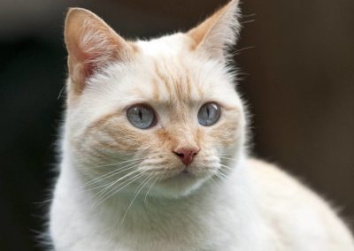 Apple Point Siamese Cat 101 11