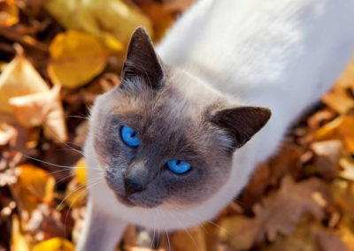 Apple Point Siamese Cat 101 12