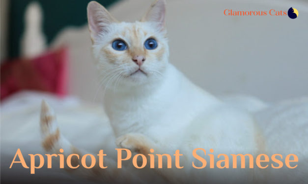 Apricot Point Siamese Cat 101
