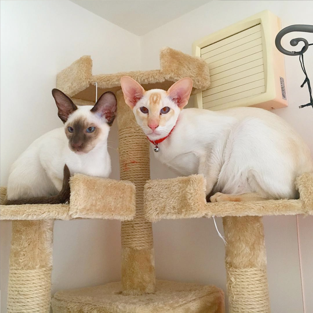 Apricot Point Siamese Cat 101 2