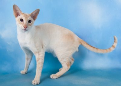 Apricot Point Siamese Cat 101 3