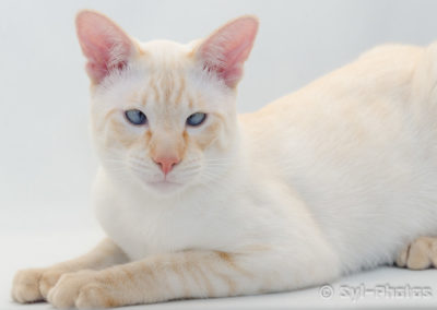 Apricot Point Siamese Cat 101 10