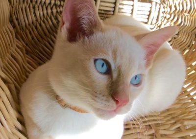 Apricot Point Siamese Cat 101 13