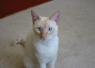 Apricot Point Siamese Cat 101 6