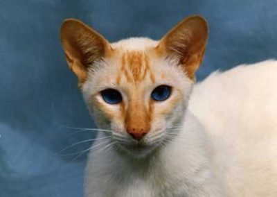 Apricot Point Siamese Cat 101 7