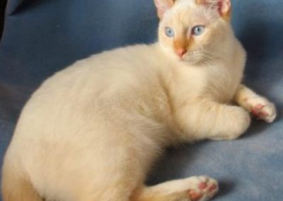 Apricot Point Siamese Cat 101 8