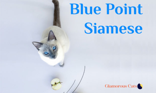 Blue Point Siamese Cat 101