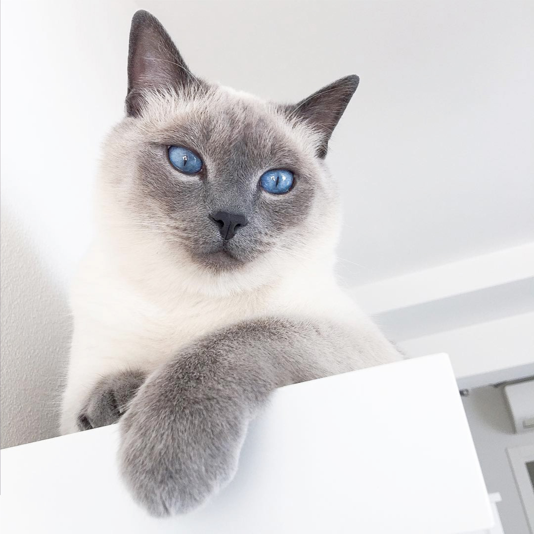 Blue Point Siamese Cat 101 1