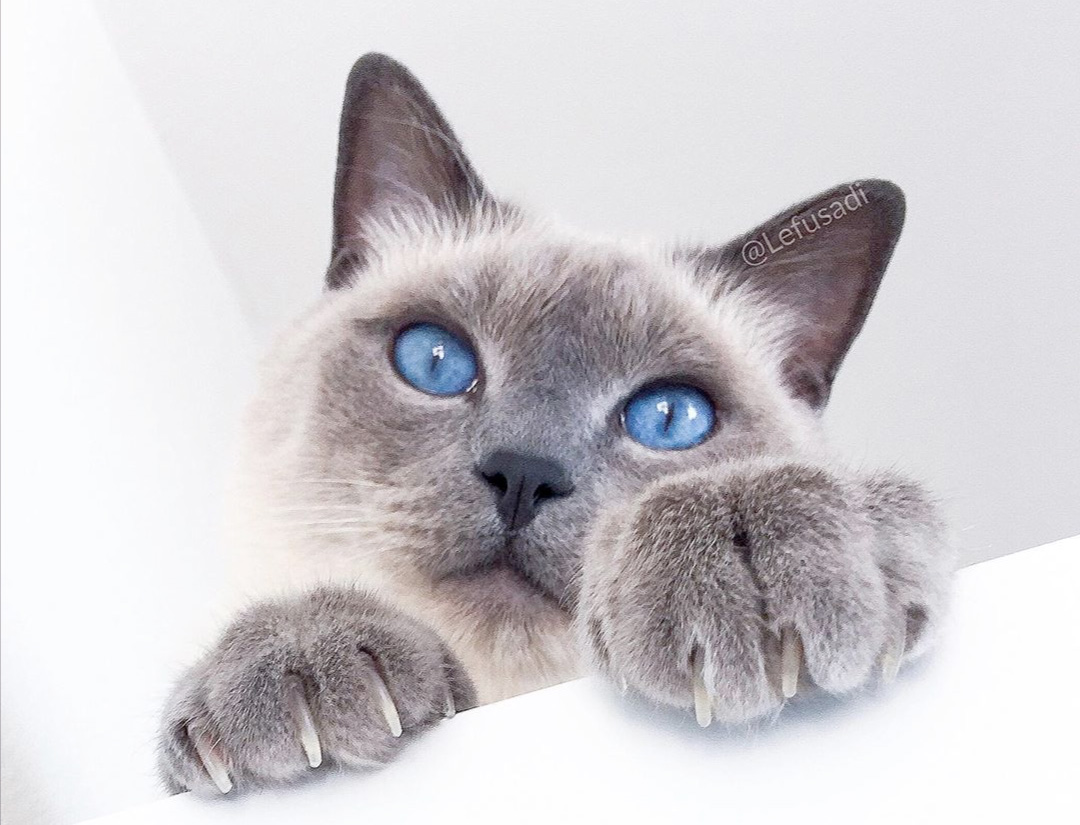 Blue Point Siamese Cat 101 2