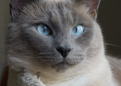 Blue Point Siamese Cat 101 10