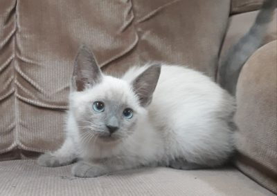 Blue Point Siamese Cat 101 11
