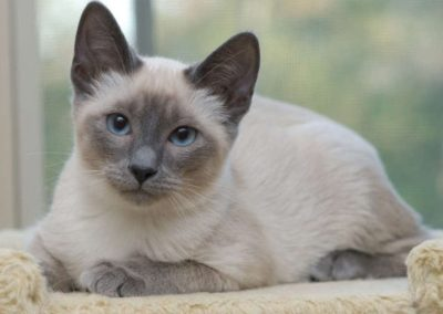 Blue Point Siamese Cat 101 4