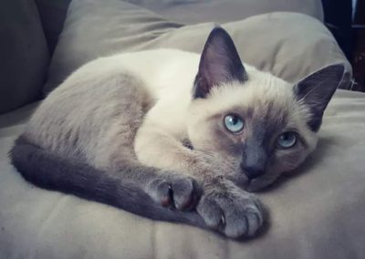 Blue Point Siamese Cat 101 5