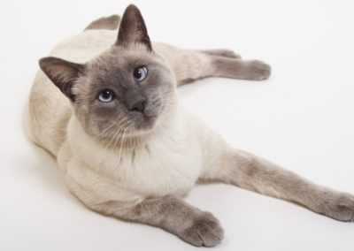 Blue Point Siamese Cat 101 6