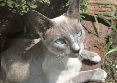 Blue Point Siamese Cat 101 7