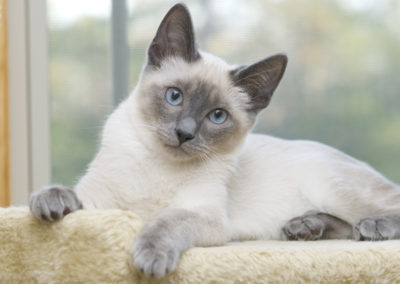 Blue Point Siamese Cat 101 8