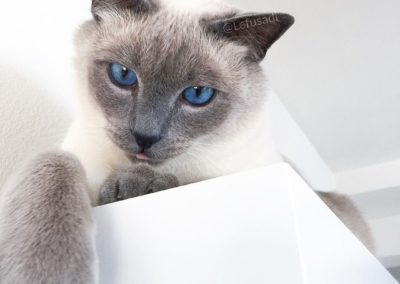 Blue Point Siamese Cat 101 9