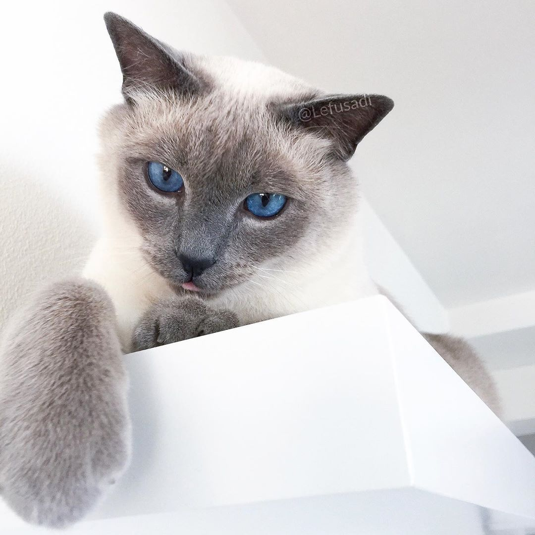 Apricot Point Siamese Cat 101 16