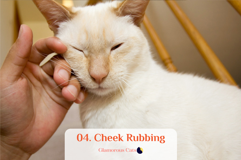 What Makes Siamese Cats So Affectionate? Can they be mean? 5