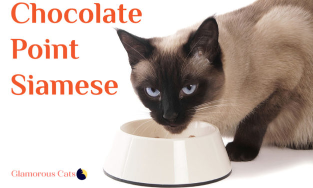 Chocolate Point Siamese Cat 101