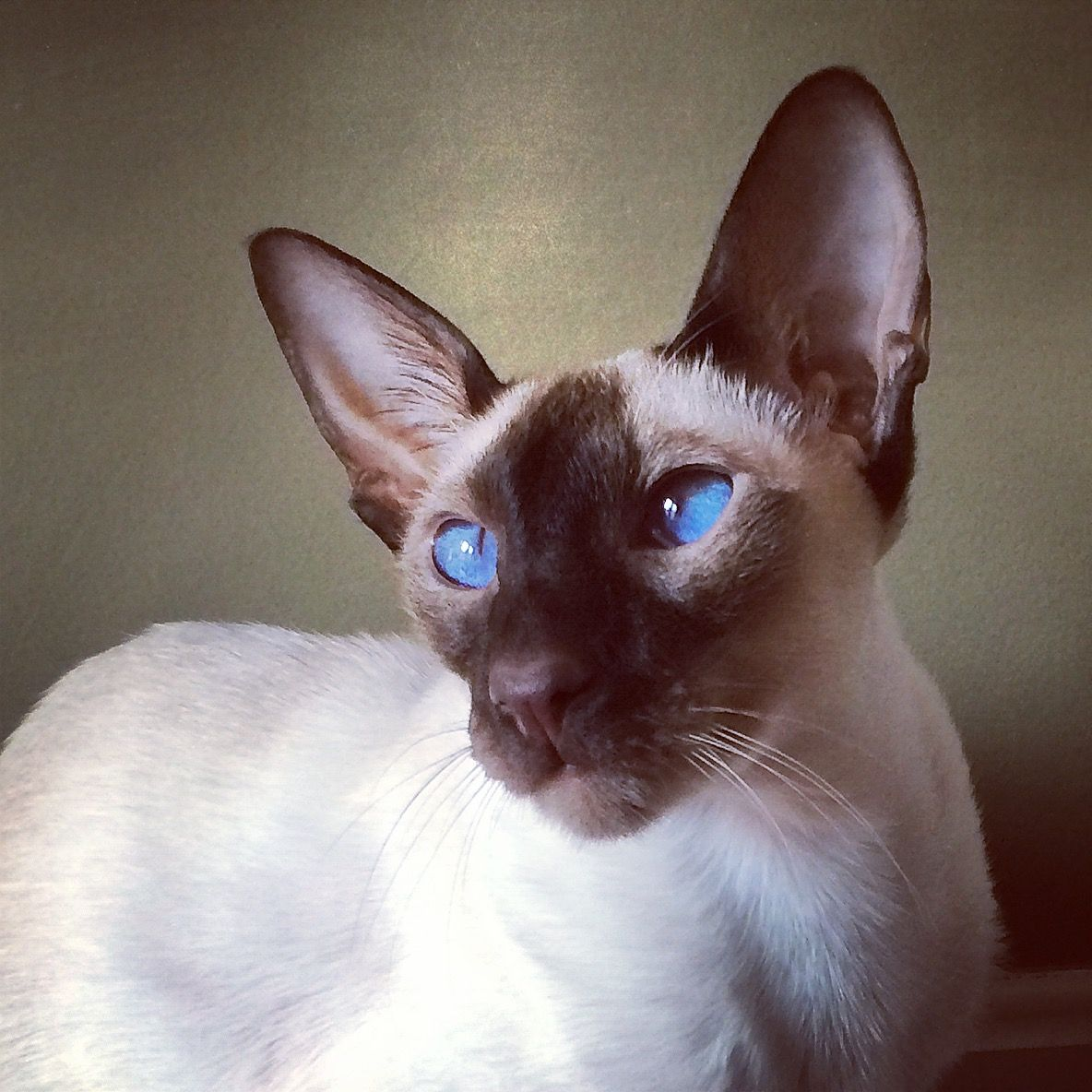 Blue Point Siamese Cat 101 12