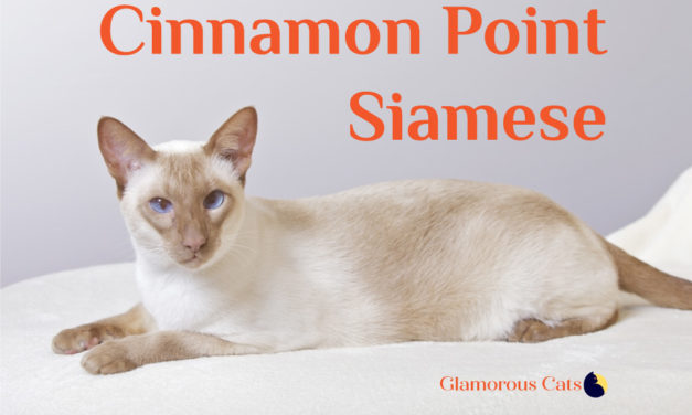 Cinnamon Point Siamese Cat 101