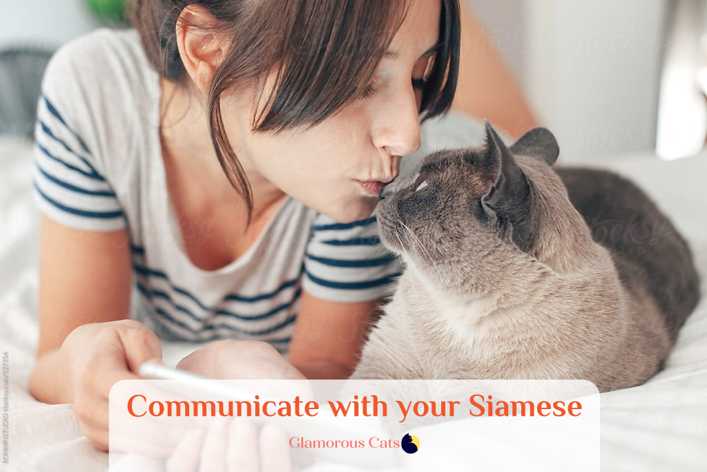 What Makes Siamese Cats So Affectionate? Can they be mean? 12